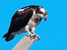 Fischadler, der auf Nest Pole steht Lizenzfreie Stockbilder