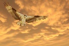 Fischadler, der für eine Landung während eines schönen orange Sonnenuntergangs hereinkommt Stockfotografie