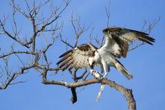 Fischadler, der Fische auf einem Baum isst Stockbild