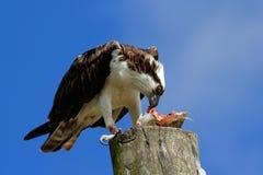Fischadler, der Fische auf einem hellen Pfosten isst Stockbild