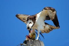 Fischadler, der Fische auf einem hellen Pfosten isst Lizenzfreie Stockfotografie