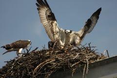 Fischadler, der Fische zum Nest holt lizenzfreies stockfoto