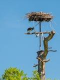 Fischadler, der frisch gefangene Fische an seinem Nest isst Stockfoto