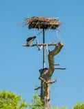 Fischadler, der frisch gefangene Fische an seinem Nest isst Lizenzfreie Stockbilder