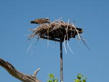 Fischadler, der frisch gefangene Fische an seinem Nest isst Lizenzfreies Stockfoto