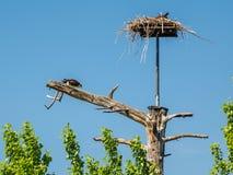 Fischadler, der frisch gefangene Fische an seinem Nest isst Stockfotografie