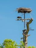Fischadler, der frisch gefangene Fische an seinem Nest isst Stockbilder