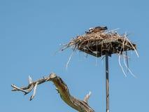 Fischadler, der frisch gefangene Fische an seinem Nest isst Stockbild