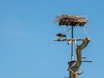 Fischadler, der frisch gefangene Fische an seinem Nest isst Lizenzfreie Stockfotografie
