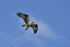 Fischadler, der nach Hause Abendessen holt Lizenzfreie Stockfotografie
