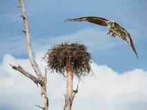 Fischadler, der nach rechts an Ihnen fliegt Lizenzfreies Stockbild