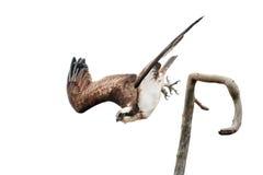 Fischadler, der seine Flügel beim Tauchen verbreitet Lizenzfreie Stockfotografie