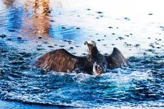 Fischadler, der vom blauen Wasser steigt Stockbild