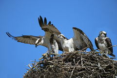 Fischadler-Eindringling stockfotografie