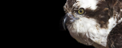 Fischadler-Fahne Lizenzfreies Stockfoto