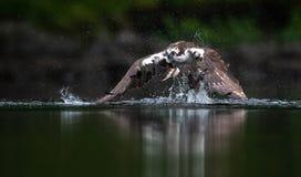 Fischadler-Fischen in Maine stockbilder