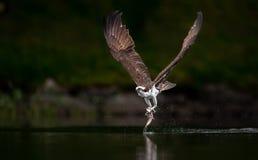 Fischadler-Fischen in Maine lizenzfreie stockfotos