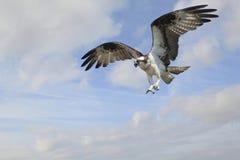 Fischadler-Fliegen in einem schönen bewölkten Himmel lizenzfreies stockbild