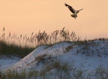 Fischadler-Fliegen herein mit einem Fisch, den er bei Sunsetl gefangen hat Lizenzfreie Stockfotos