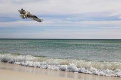 Fischadler fliegt über die Wellen des Strandes Lizenzfreies Stockbild