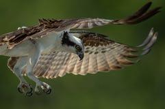 Fischadler in Florida stockfotos