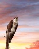 Fischadler gehockt auf totem Baum bei Sonnenuntergang Stockfotos