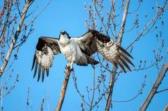 Fischadler hockte auf einer Niederlassung mit Flügelverbreitung Stockbilder