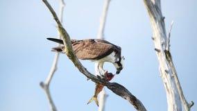 Fischadler im Baum einen Fisch essend stock footage