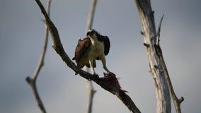 Fischadler im Baum einen Fisch essend stock video