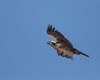 Fischadler im Flug Lizenzfreie Stockbilder