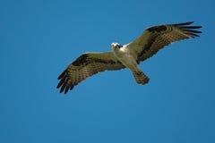 Fischadler im Flug Lizenzfreie Stockfotos
