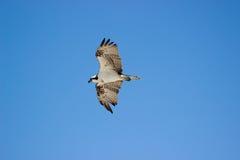 Fischadler im Flug Stockfoto