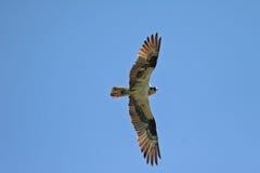 Fischadler im Flug, der Fotografen aufpasst lizenzfreies stockfoto