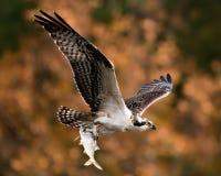 Fischadler im Flug mit Fang XII stockfotos