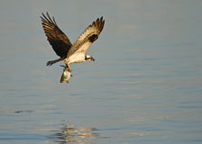 Fischadler im Flug mit Fischen Lizenzfreies Stockbild