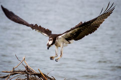 Fischadler-Landung Lizenzfreies Stockbild