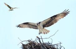 Fischadler-Landung auf ihr ist Nest mit ihrem Mate Flying herein mit einem Fisch Lizenzfreie Stockbilder
