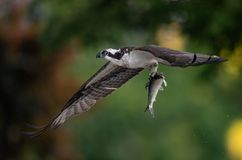 Fischadler mit einem Fisch stockfoto