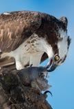 Fischadler mit Fische Pandion haliaetus nannte auch Fischadler oder s Lizenzfreies Stockbild