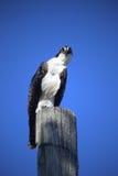 Fischadler mit Haltung Lizenzfreie Stockfotografie