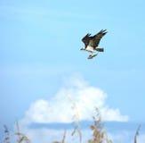 Fischadler mit Welsabendessen Lizenzfreies Stockfoto
