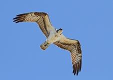 Fischadler obenliegend Lizenzfreies Stockfoto