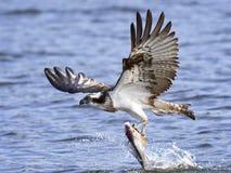 Fischadler Pandion Haliaetus Lizenzfreies Stockbild