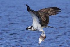 Fischadler Pandion Haliaetus Stockfotografie