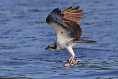 Fischadler Pandion Haliaetus Stockfoto