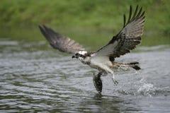 Fischadler, Pandion haliaetus Lizenzfreies Stockbild