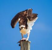 Fischadler Pandion haliaetus auf einem Beitrag, der Fische isst Stockbilder