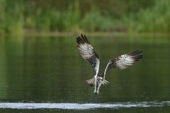 Fischadler Pandion haliaetus im Flug Überwasseroberfläche Stockfoto