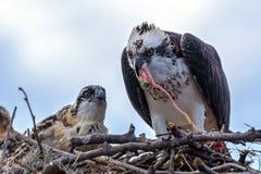 Fischadler Pandion haliaetus im Nest, das einen Fisch isst Lizenzfreie Stockfotografie