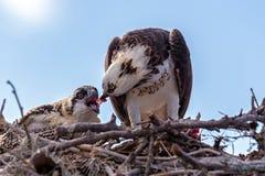 Fischadler Pandion haliaetus im Nest, das einen Fisch isst Stockbild